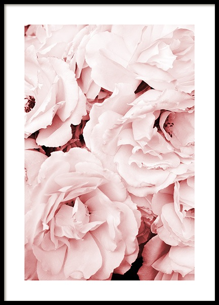 Close Up Pink Roses Poster in der Gruppe Poster / Fotografien bei Desenio AB (11793)