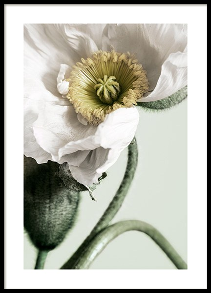 White Poppy Close Up Poster in de groep Posters / Fotokunst bij Desenio AB (12319)