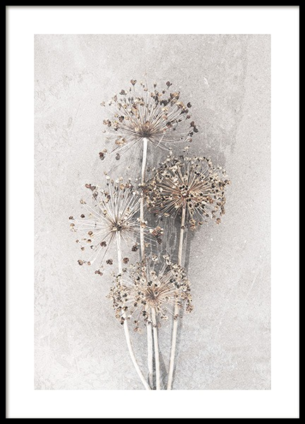 Dried Allium Flowers No2 Poster in de groep Posters / Fotokunst bij Desenio AB (12662)