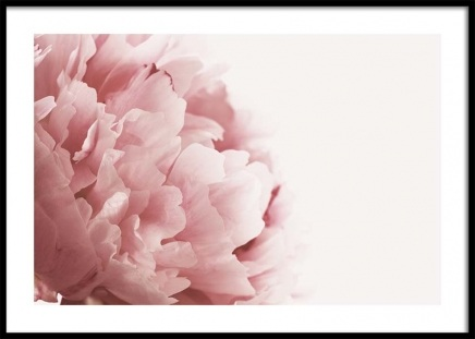 Pink Peony Close Up Poster in der Gruppe Poster / Fotografien bei Desenio AB (3530)