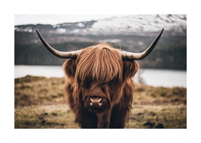 Scottish Highland Cattle Poster / Tiere bei Desenio AB (11853)